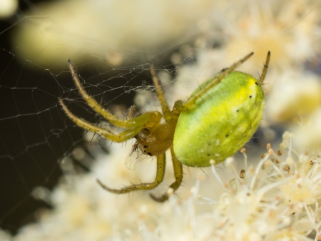 araniella: Macro of a green orb spider in its web with prey Stock Photo