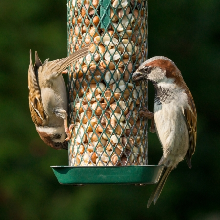 House sparrow and tree sparrow eating peanuts from a bird feeder photo