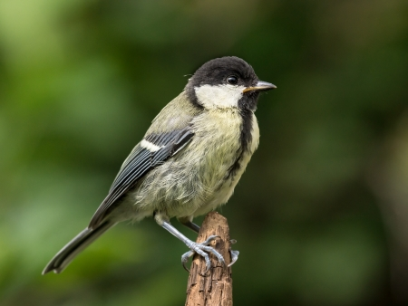 Juvenile great tit perched on the tip of a brown branch photo