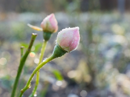 Pink rose buds covered with rime frost photo