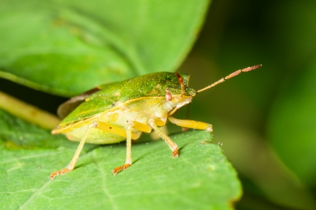 Macro shot of Green shield bug on a leaf photo