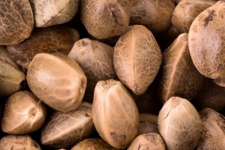marihuana: Cierre de la foto de las semillas de c��amo