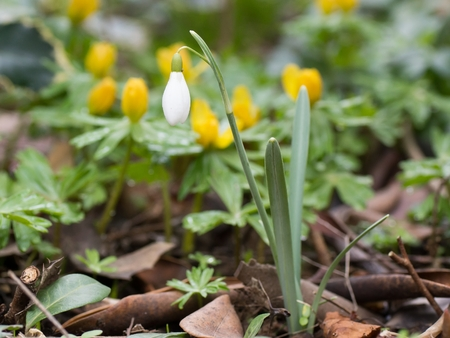 Close up photo of a single snowdrop flower with winter aconite in the background photo