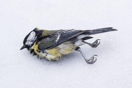 A dead great tit lies on snow