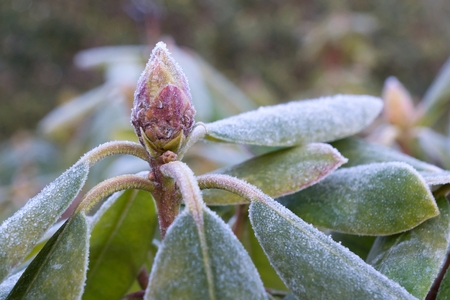 rime frost: Close up photo of Rhododendron bud and leaves with  rime frost Stock Photo