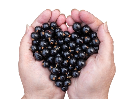 Black currants held by woman hands shaping a heart  isolated on white