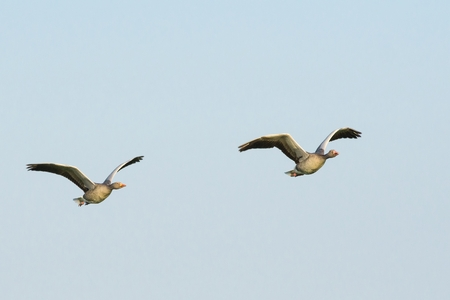 Two flying greylag geese under a blue sky photo