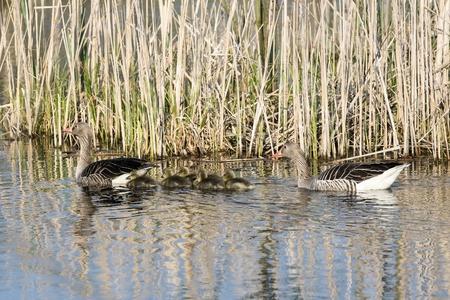 the offspring: Pareja de gansos Anser nadando con sus cr�as