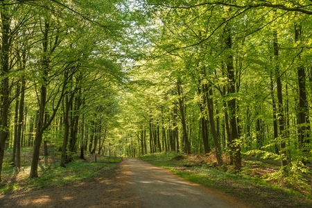 Beech trees and a forest road in spring photo