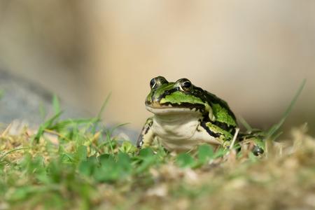 grenouille verte: Green frog implantation sur l'herbe Banque d'images