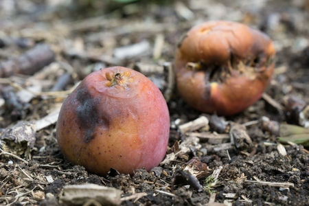 decomposed: Two rotten apples laying on the ground Stock Photo