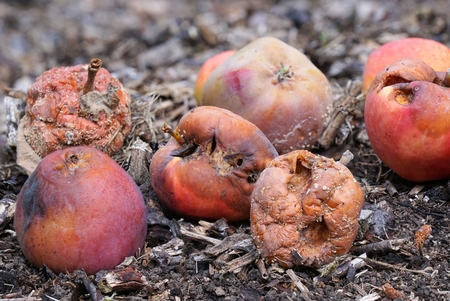 fallen fruit: Group of rotten apples on the ground Stock Photo