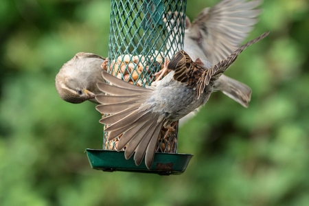 food fight: Tree sparrows and house sparrows at the feeder Stock Photo