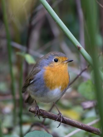 European robin perched on a twig in a bush photo