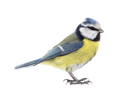 cyanistes: Blue tit on white background seen from the side Stock Photo