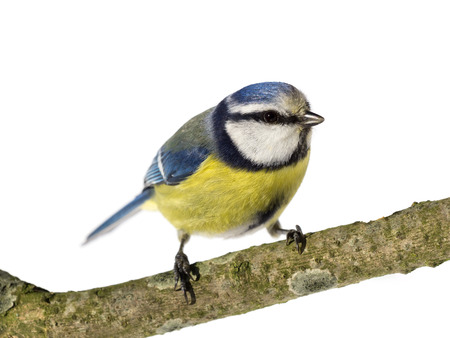 cyanistes: Perched blue tit looking to the right on white background