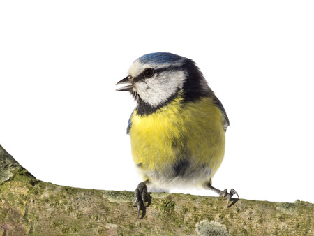 cyanistes: Perched blue tit looking to the left with open beak on white background