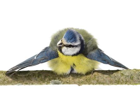 bowing head: Perched blue tit with wings spread out and turned head on white background Stock Photo