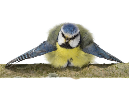 bowing head: Perched blue tit looking ahead with wings spread on white background