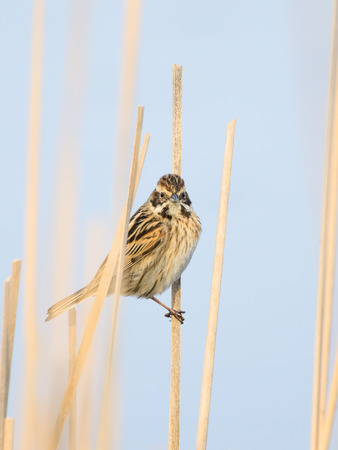 common reed: Common reed bunting female sitting partly covered in dry reeds