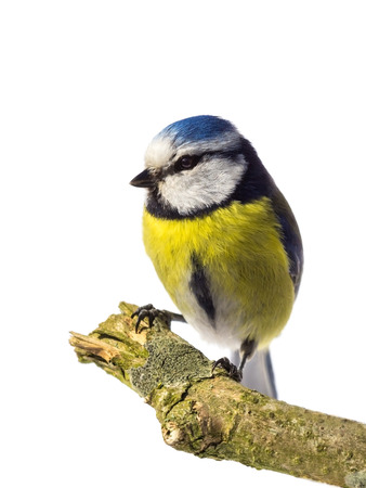 cyanistes: Perched blue tit from the front looking left on white background