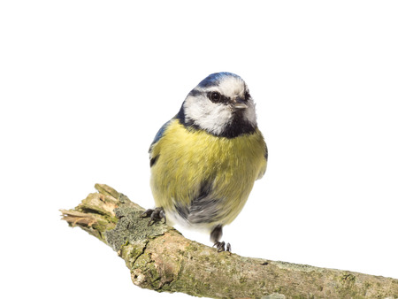cyanistes: Front view of perched blue tit on a branch with white background Stock Photo