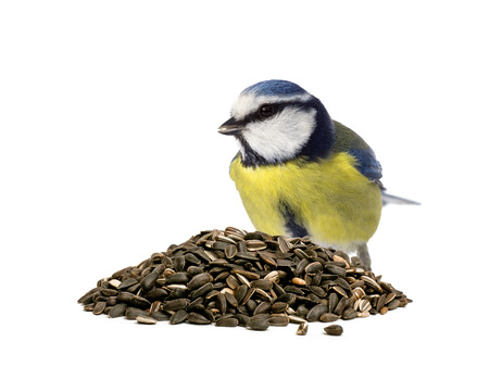 cyanistes: Blue tit sitting behind a pile of sunflower seeds on white background Stock Photo