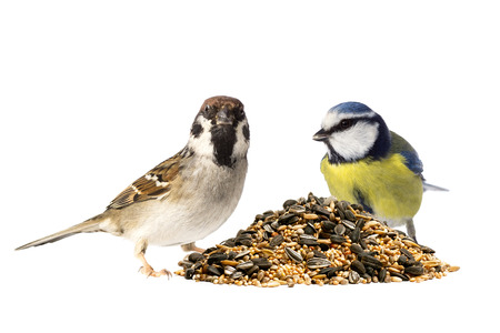 blue tit: Eurasian tree sparrow and blue tit with a pile of mixed bird seeds on white background Stock Photo