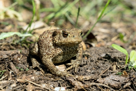 dirt ground: Small toad sitting on dirt ground