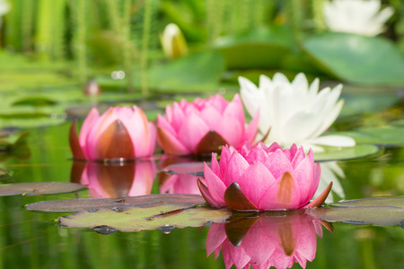 Red and white water lilies in a garden pond Stock Photo