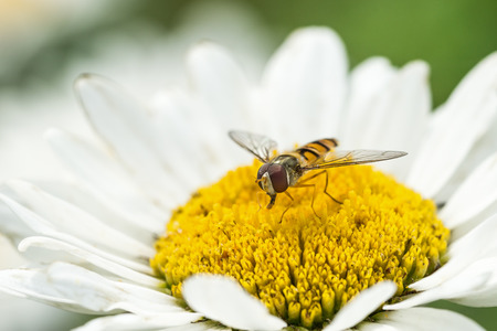 nectaring: Front view of a hoverfly sitting in a white daisy flower