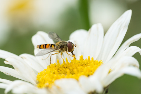 nectaring: Side view of a hoverfly facing right sitting in a white daisy flower