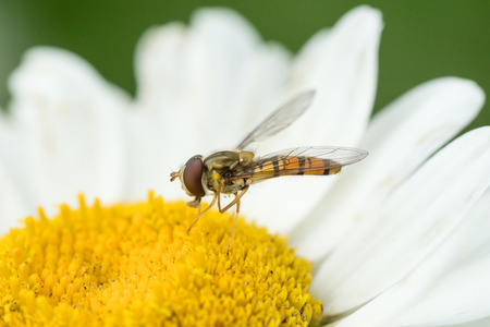 nectaring: Close up side view of a hoverfly facing left sitting in a white daisy flower Stock Photo