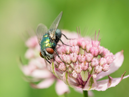 nectaring: Close up photo of a green metallic fly in a astrantia flower