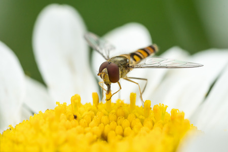 nectaring: Close up photo of a hoverfly sitting in a white daisy flower Stock Photo