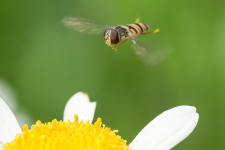 Hoverfly hovering over daisy flower