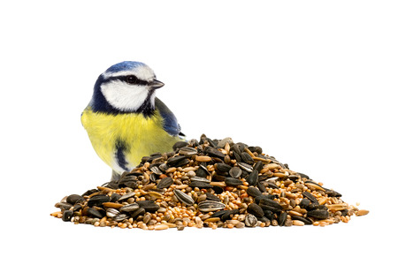 Blue tit and a pile of mixed bird seeds on white background