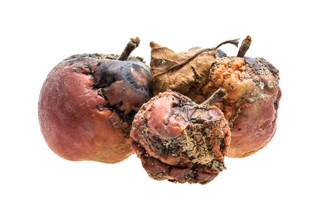 decompose: Three rotten apples with wrinkles and spots on white background