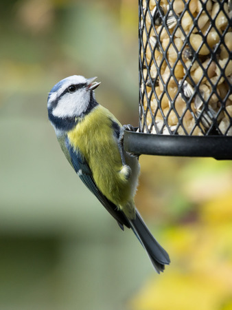 black bird: Blue tit sitting on a bird feeder with peanuts having open beak Stock Photo