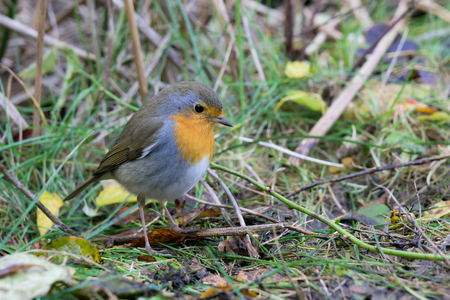 European robin sitting on the ground looking down Stock Photo