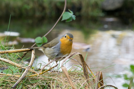 redbreast: European robin sitting on the ground looking at the photographer with water in the background Stock Photo