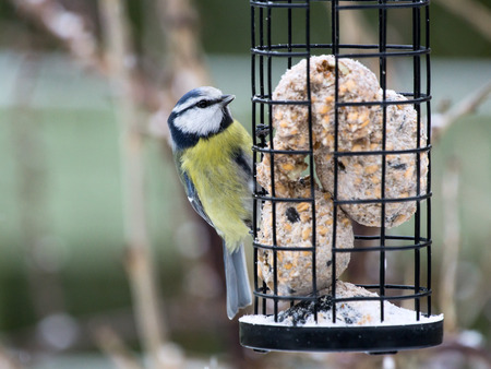 Blue tit sitting on bird feeder with fat balls Stock Photo