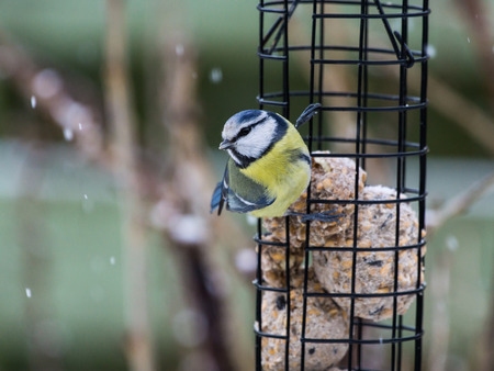 fat bird: Blue tit sitting on bird feeder with fat balls while its snowing Stock Photo