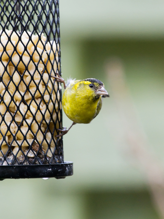 head down: Eurasian siskin male sitting on a bird feeder with peanuts looking to the right side with head down