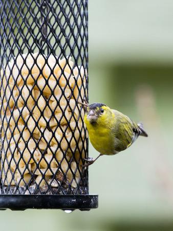 bird feeder: Eurasian siskin male sitting on a bird feeder with peanuts looking into the camera