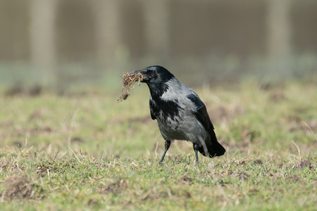 beak: Hooded crow standing in a grass field with nesting material in the beak