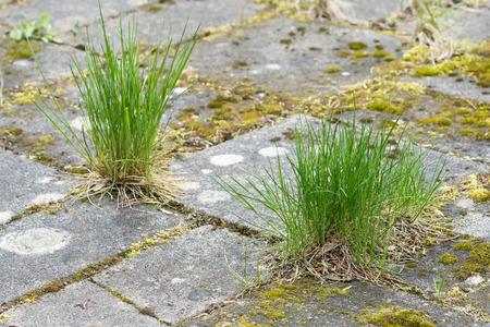 Gras groeit in de spleten tussen de tegels voor de tuin Stockfoto