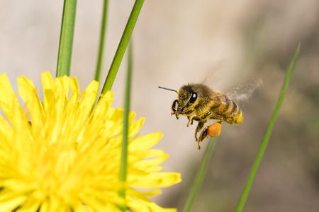 honeybee: Honeybee with pollen flying near a dandelion flower and grass straws