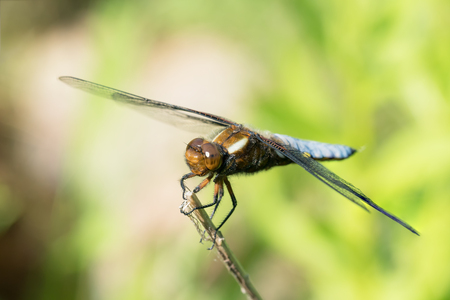 chaser: Broad-bodied chaser or darter male dragonfly on a dry on a dry stem