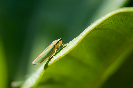 Rhododendron leafhopper sitting at the edge of a rhododendron leaf seen from the side Stock Photo